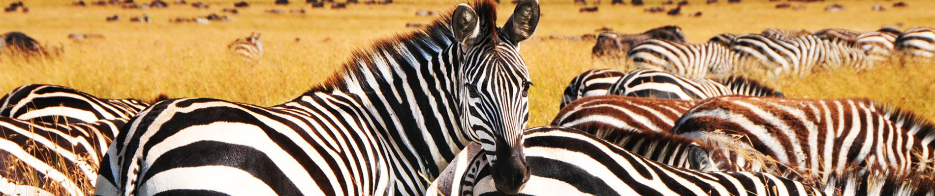 afrique-du-sud-safari-zebre-s