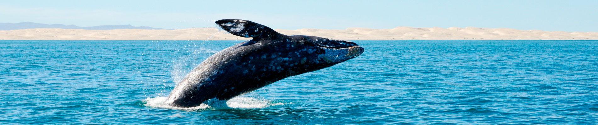basse-californie-baleine-gris