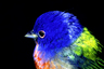 Painted_bunting 300x200