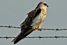 White-tailed kite 300x200