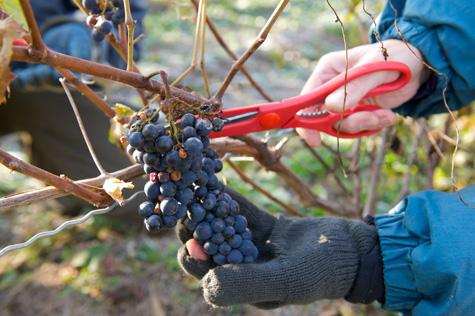 vendanges-octobre-halloween-domaine-et-vins-gelinas