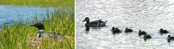 canards-mauricie-oiseaux-observation