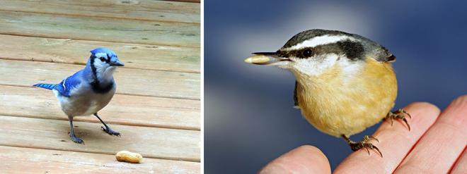 oiseaux-mesange-geai-bleu