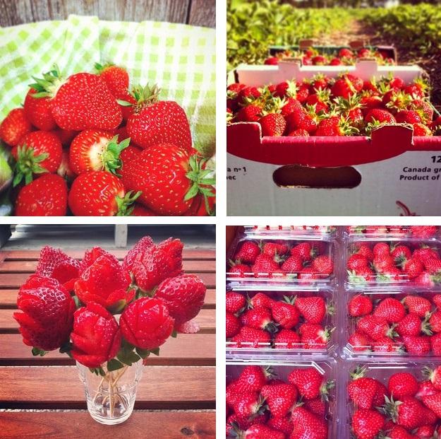 fraises-mauricie-cueilette-petits-fruits