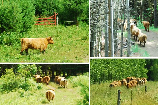 vaches auberges le baluchon cowboy