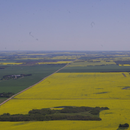 Canola fields in Saskatchewan.