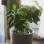 Potted_herb_garden_basil