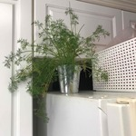 Dill_plant