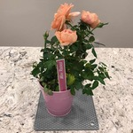 Mini_roses