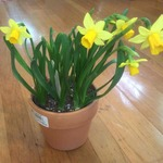 Blooming_bulbs_assorted_4.5%e2%80%9d
