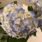 Hydrangeas_-_3_stem