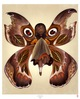 Chocolate Moth