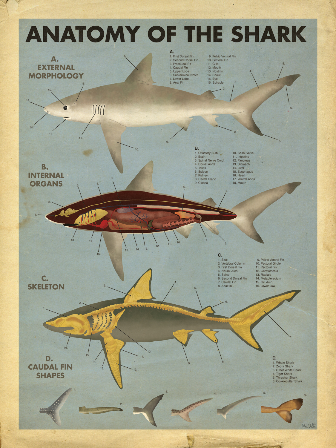 Anatomy of the shark Giclée (Digital Print) by Ma... | Trampt Library