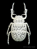 Coleoptera Filigre (small)