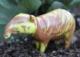 Marbled Tapir