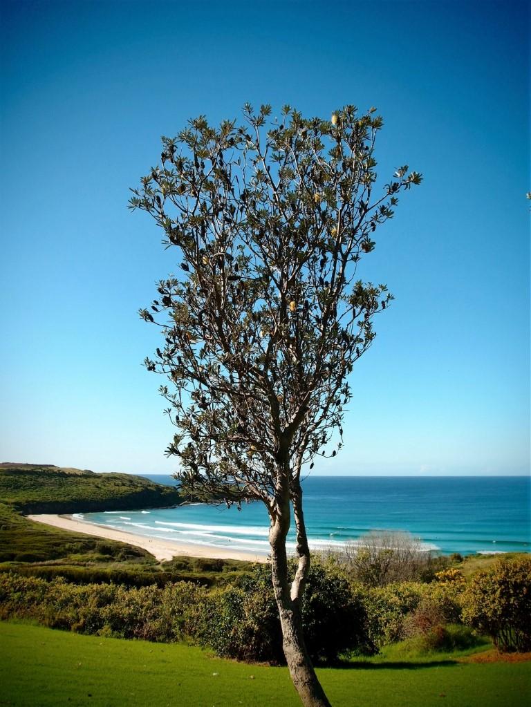 Killalea Beach Tree