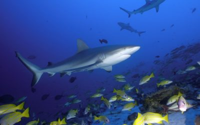 Sharks in Bora Bora - feature