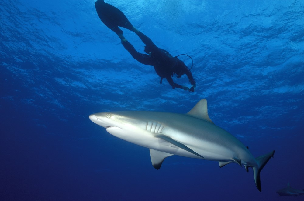 Sharks in Bora Bora Shark diving