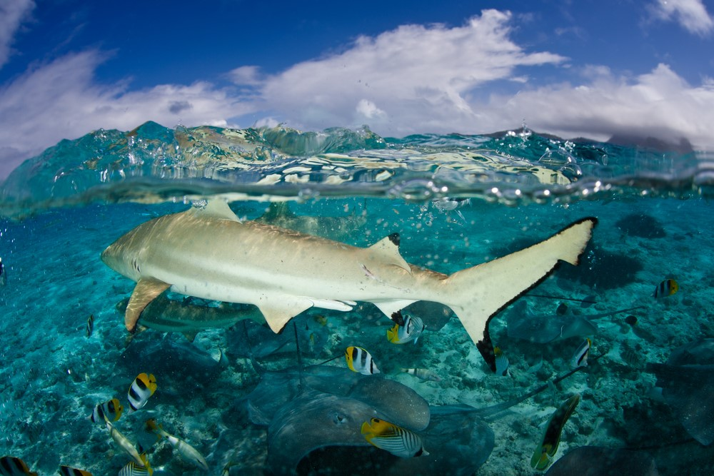 Sharks in Bora Bora Bora Bora shark and ray tours