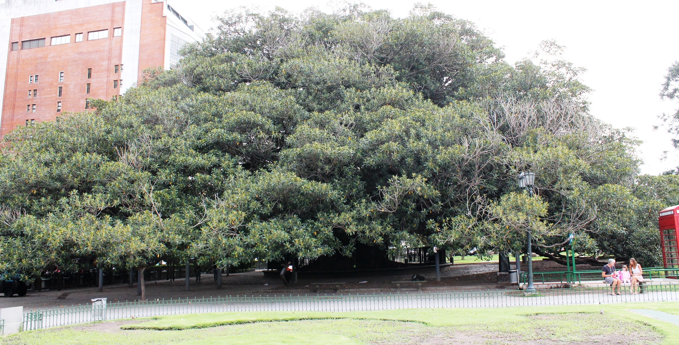 oldest tree buenos aires