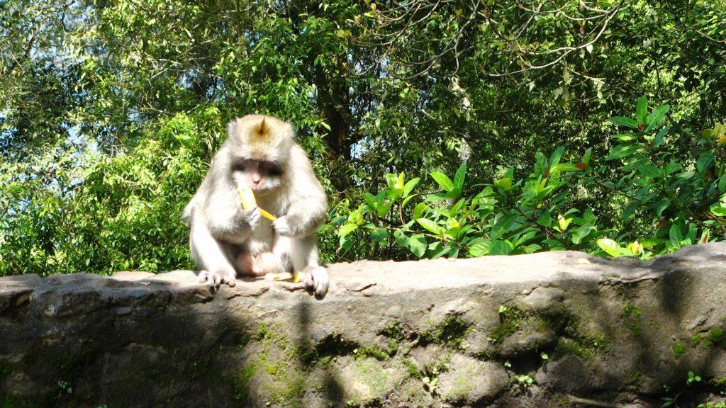 Monkey on street Bali