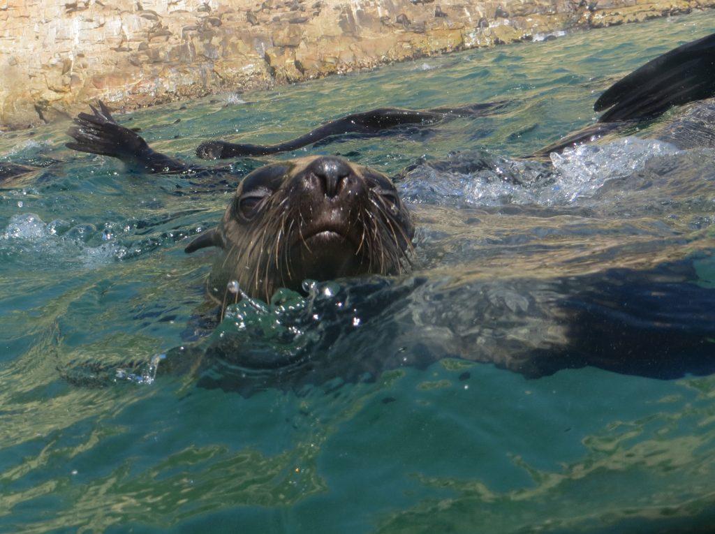 plettenberg bay fur seals