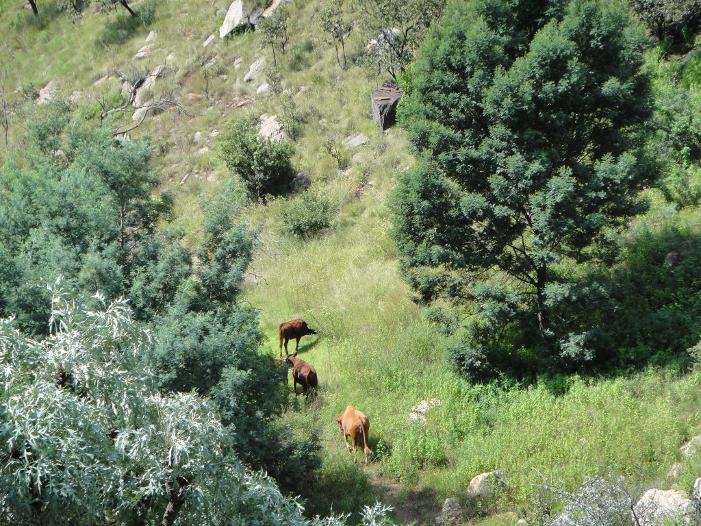 Cattle at Kings Kloof