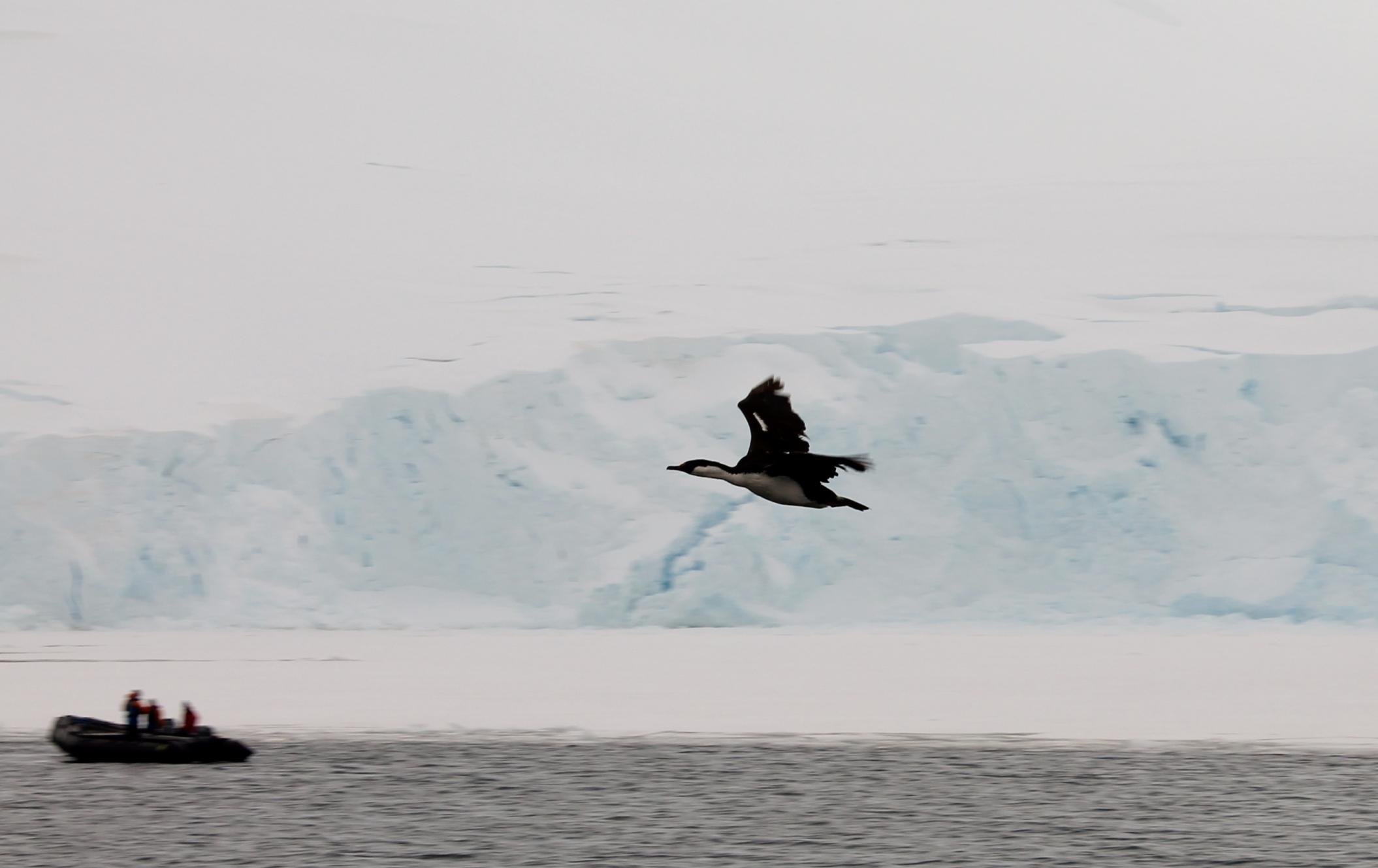 Antarctica cormorant