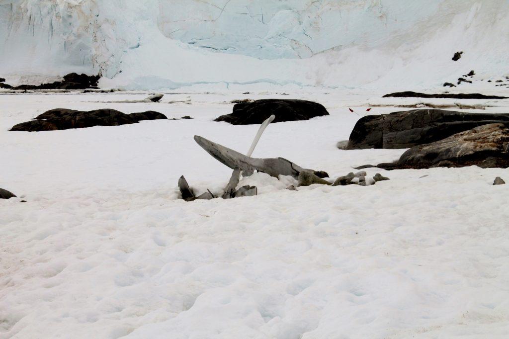 Jougla Point whale fin