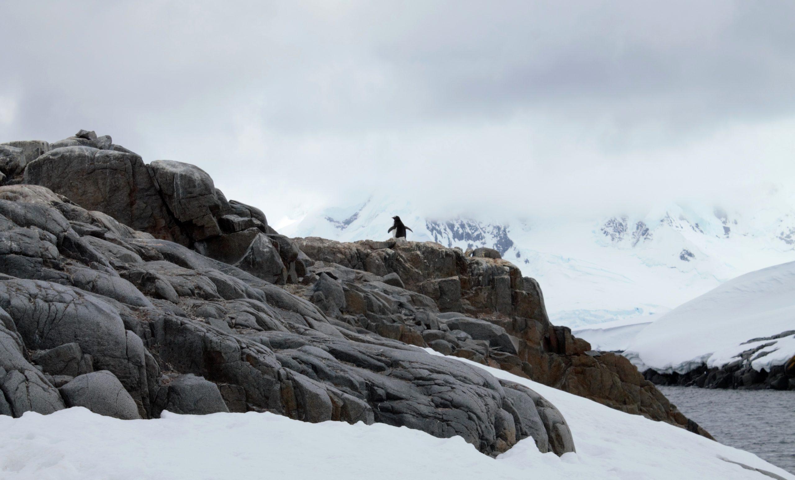 Jougla Point solo penguin