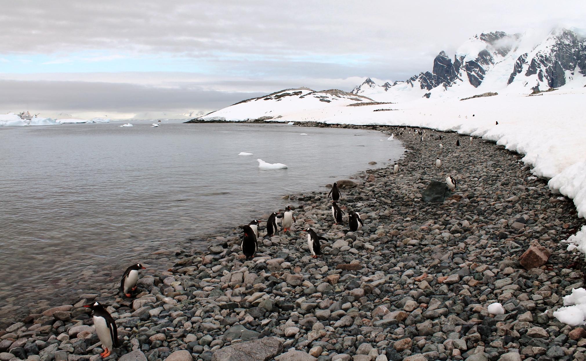 cuverville penguins