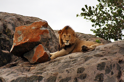 Tanzania_serengeti_lion_on_kopje