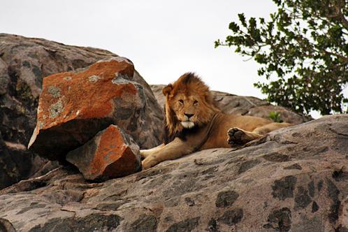 Tanzania_serengeti_lion_on_kopje