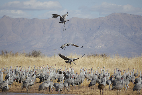 Flying_cranes_whitewater