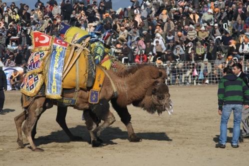 Wrestling_camels