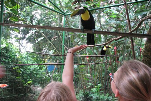 Feeding_toucans_in_cr
