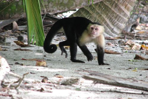 Capuchin_thief_498x332
