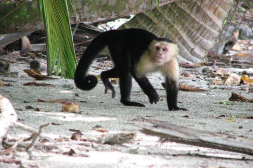 Capuchin_thief_498x332