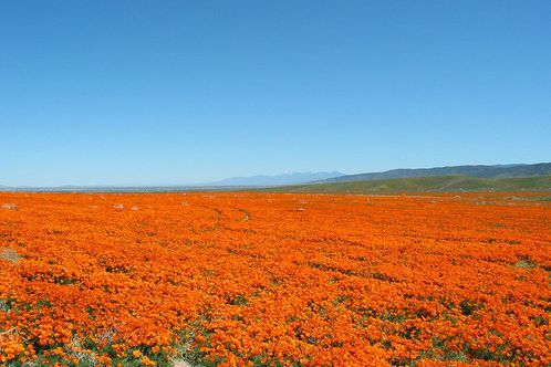 800px-california_poppies1