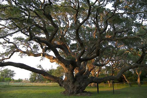 800px-big_tree-1