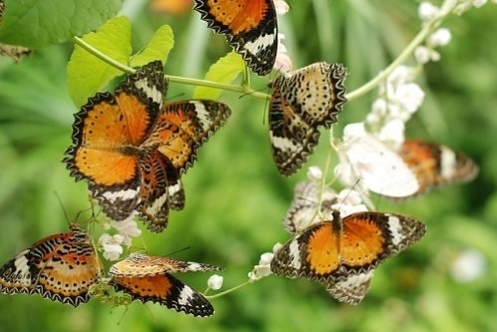 Butterflies_malaysia