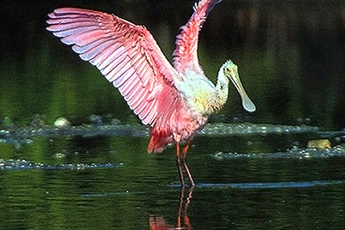Roseate_spoonbill_at_ding_darling_nwrnew