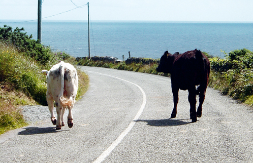 Cows_on_road