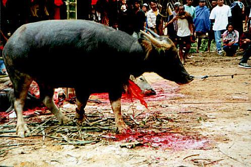 Sulawesi_sacrifice