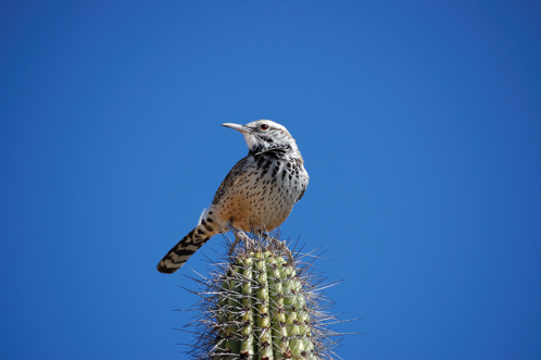 Cactus_wren_mda