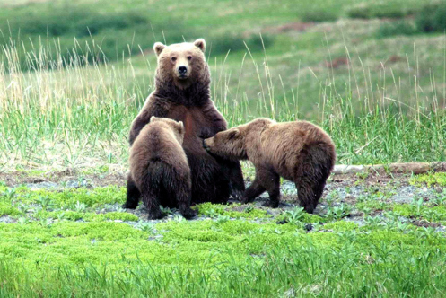 Bears_alaska_carl_chapman