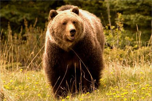Jasper_grizzly