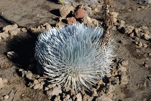 Silversword