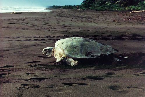 Greenseaturtletortuguero_ccc-photo-2