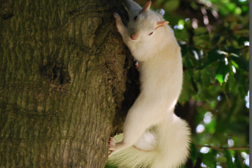White_albino_squirrel-olney